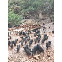 江西吉安哪里有藏香猪养殖场藏香猪养殖成本