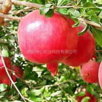 石榴苗价格 山东石榴苗品种 泰山红石榴苗 软籽石榴苗