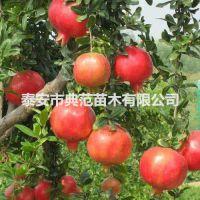 泰山红石榴苗价格 泰山红石榴苗基地直供 品种纯正