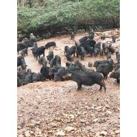 荆门地区在哪里能卖的正宗的藏香猪种