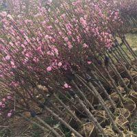 红梅树哪里便宜 江苏红梅树基地苗好价优 有现货