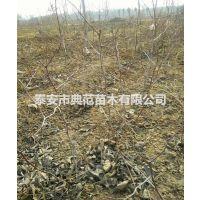 葫芦枣树苗 葫芦枣树苗多少钱一棵 山东枣树苗基地