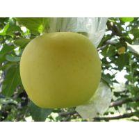 苹果苗新品种 信浓金苹果苗价格