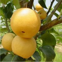 梨树苗品种推荐 种植栽培