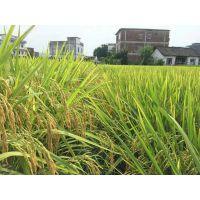 水稻抗病增产专用肥预防治疗纹枯病稻瘟病有特效