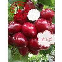 泰安瑞康苗木供应1公分矮化萨米脱樱桃树苗