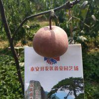 哪里有1公分的早酥红梨树苗卖 品种保证价格低廉山东梨树苗种植基地