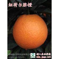 赣南脐橙品种就是纽荷尔 高规格高质量脐橙苗出售