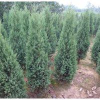 【塔松批发8000棵 1米2米3米4米高】提供栽培技术