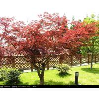 北京苗圃出售日本红枫,中国红枫,美国红枫,品种全,价格低,送货上门