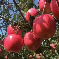 响富苹果苗多少钱一棵 响富苹果苗简介