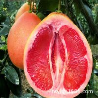 果树苗三红蜜柚子树苗沙田蜜柚红心柚子苗红肉蜜柚南北方种植