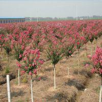 紫薇树哪里便宜、3公分4公分紫薇树价格江苏市场