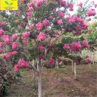 大量批发绿化用紫薇 3-15公分百日红供应基地 现挖现卖 成活率高 紫薇树