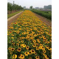 黄楼镇青州宿根草花种植基地