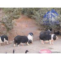 传统方法喂养土花猪 超市专供土花猪 影响丰富 肉质肥而不腻