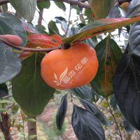 铜仁柿子嫁接苗制造商 优质柿子嫁接苗售卖优惠