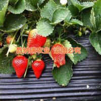 长沙法兰地草莓苗_乾纳瑞农业科技(图)_法兰地草莓苗苗圃