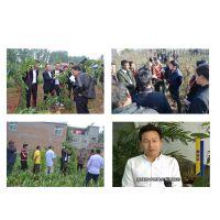 贵州金果梨种植大户合作社效益高产量高纯种果苗农业致富项目