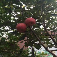 红富士苹果苗剪枝