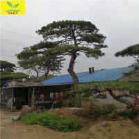 泰山景松 造型景松价格 山东松树供应基地 多种造型 价格优 质量好