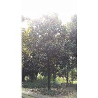 成都精品广玉兰树20-25公分一手货源广玉兰树型好价格合理可实地看货