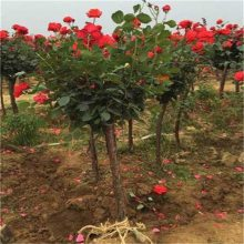 哪里卖月季树 月季树价格哪里便宜
