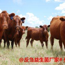 育肥后期牛不想吃精料怎么回事