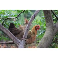 天农食品-清远鸡养殖示范基地|清远鸡初生蛋也叫开窝