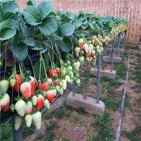 桃熏草莓苗多少钱一棵 桃熏草莓苗品种特性