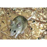 寿光哪里有专业灭老鼠公司灭鼠价格杀虫