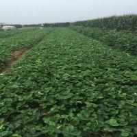 香野草莓苗价格 香野草莓种苗2019新报价