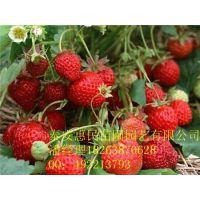山东泰安脱毒草莓苗 大棚草莓苗 品种草莓苗种植基地 批发价格
