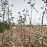 7公分香椿树哪里有 北方温室香椿苗种植