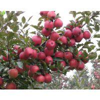 批发苹果苗去哪里 山东苹果苗供应基地