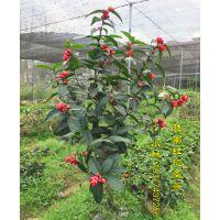 越南抱茎茶花价格和图片 四季抱茎海棠茶扦插苗嫁接苗盆栽