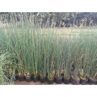 水葱种植基地丨营养袋苗水葱繁育基地