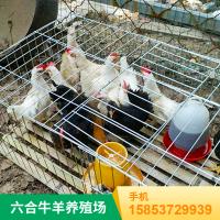观赏与药用七彩雉鸡成体 华旺特种养殖场批发