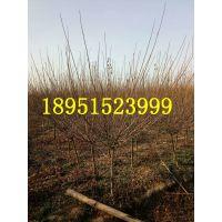 红梅树小苗价格红梅花苗报价2公分3公分4公分5公分6公分