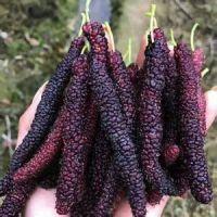 四季长桑果苗多少钱 四季长桑果苗品种介绍