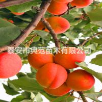 晚红杏树苗 晚红杏树苗价格 去哪里买晚红杏树苗