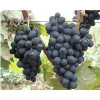 供应1-4年黑康葡萄苗 多少钱一棵 介绍