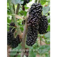 优质果桑树苗大量批发 果桑苗基地种植供应