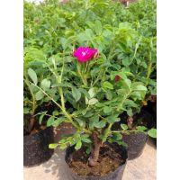 四季玫瑰产地 出售30公分40公分四季玫瑰种苗