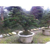罗汉松造型基地树形好 中小型造型罗汉松盆景价格
