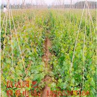 极早熟葡萄苗品种 黑色甜菜葡萄苗
