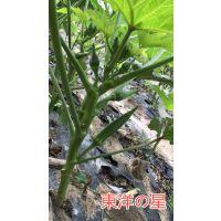 东洋之星秋葵种子日本原罐进口
