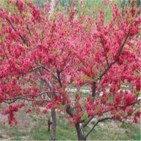 志森园艺供应红叶碧桃批发 8厘米红叶碧桃价格 量大从优