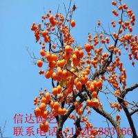 泰安牛心柿子苗品种规格 原种柿子苗销售