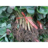 基地常销草莓苗批发 南北方种植 品种齐全 苗高10-20cm 优质草莓苗 高产易成活